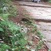 ミヤマヨメナの山道 (キク科)
