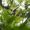 森を飛び回るケツァール 今日の1枚