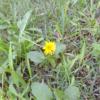 暑い中、「タンポポさん」、黄色いお花さん達にほっこり ♫♫♫