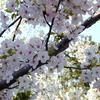 今週のお題「桜」