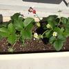 我が家のイチゴは開花ラッシュ!&宗像大社で癒される