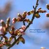 北海道の桜はこれからが本番。