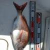 乗っ込み終盤の鯛ラバ釣行。
