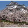 日本の桜を楽しもう! 津山さくらまつりに行こう。