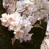 桜の季節に免許の更新