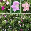 オシロイバナ どこにでもあると見過ごしがちですが,よく見るとなかなか可愛らしい美しい花姿.調べてみると,話題となるような性質を様々持った花のようです.「おしろい」の代用?英語では「Four-o'clock,Marvel of Peru」,花色についてはいまだに研究途中とか.近縁の花にはブーゲンビリアが.