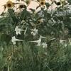 百合と向日葵
