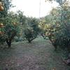 『慎太郎柚園』ゆず収穫体験