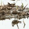 湿地のクサシギ