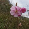 田川邸の河津桜が開花