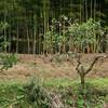 切られた夏蜜柑の木