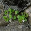 宝塚市内のイヌノフグリ Veronica polita var. lilacina
