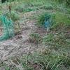 畑の草刈りとダイソー種の発芽率