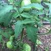 お庭の野菜たちも頑張っています