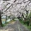 藤沢の境川の桜を花見をしながらiPhoneで撮影!