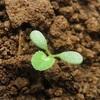 【緑肥】育てるだけで肥料になる!?〜我が家でもシロツメクサを育ててみよう!〜