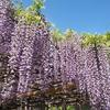 藤の花を見に牛島の藤へ