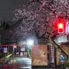 地元近くの小学校門前の早咲きの桜@2020