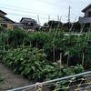 よそ様の家庭菜園を羨ましく眺めてきました。皆さんお上手で。