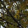 朝寝坊したもののウタツグミは何とか見れました(大阪城野鳥探鳥 2017/12/02 6:40-13:55)