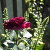 植物に合った環境で育てることの大切さ〜ジギタリス