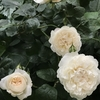 えひめAIとバラ栽培