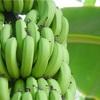 蒼いバナナ