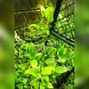 常緑ツルアジサイにランナー⁉地下茎も?
