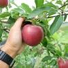 夏のりんご。