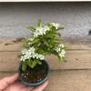 ピラカンサの開花