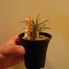 秋の「サボテン・多肉植物ビッグバザール」でパキポディウム・グラキリスを買ってみた。