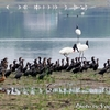 Jabiru (ジャビル) と Neotropic Cormorant (カワウ)たち