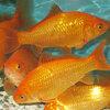金魚 小和金 エサ用金魚(10匹)生餌 エサ金 餌金 和金 川魚 【2点以上7000円以上ご購入で送料無料】