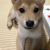 柴犬あきとの生活 40