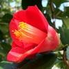 ツバキの花の終わりに