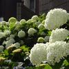 【あじさい祭り2019】今週末から!白山神社の開花状況 / Hakusan shrine @文京区