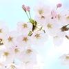 小田原桜まつり2019 小田原城ライトアップ・早咲きの桜・アクセス