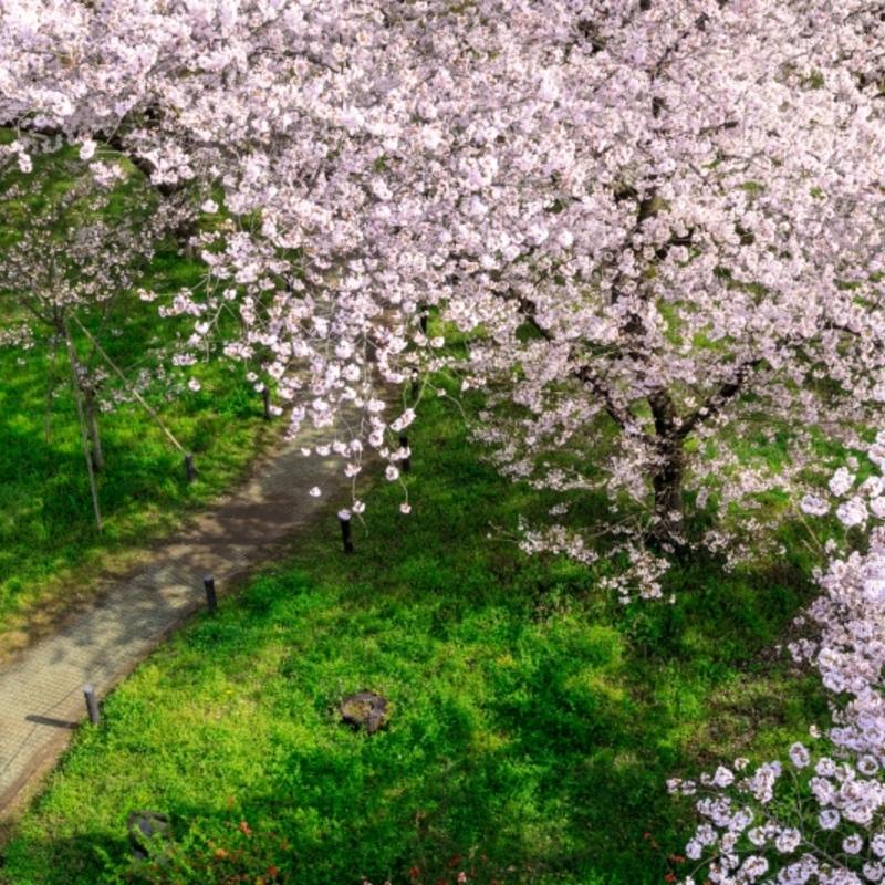 樹木医さんに聞いた!京都に桜の名所が多いワケ&知ると納得!桜の知識