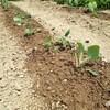 ブロッコリーとキャベツを植えた