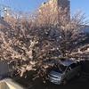 さくら発寒の桜の木