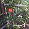 越後屋渡が、暴利を貪ろうとしていたトマトがどうなったか?