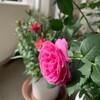 100円で買った激安鉢植えの薔薇が咲いた♪アンネフランクのバラと我が家のベランダガーデニングの様子