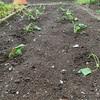 森バナ農園2021⑨ 『サツマイモ植えました』