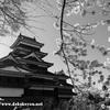 松本城でお花見散歩!桜の開花や見頃の時期・夜桜会について