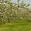 リンゴの花ほころぶ…