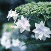 紫陽花:Ektar100