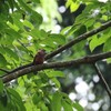 アズキヒロハシ(Banded Broadbill)