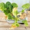 水耕で「ミニ白菜」栽培に再チャレンジ。今度こそ収穫までたどり着きたいです
