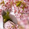 【一眼レフ】春といえば、やはり河津桜!TAMRONのA035で撮り歩く。