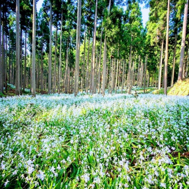 綾部で発見された奇跡の花園!神秘的なシャガ群生地へ行こう!